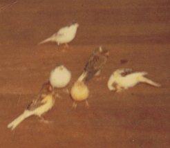 Mon chien Voyou, mes bébés à plumes et compagnie E-et-cie-bebe-pou...nette-01-2b5fa54